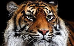 Tigre - Taller Neurodanza y Cuatro Animales